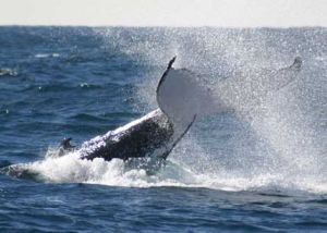 Whale Watching Sydney - Accommodation QLD