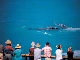 Whale Watching At Head Of Bight - Accommodation QLD