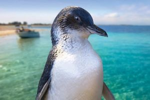 Full-Day Penguin Island  Fremantle Town - Accommodation QLD