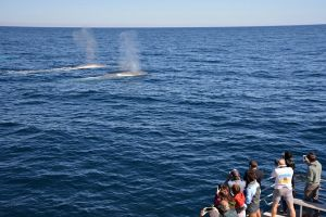 Blue Whale Perth Canyon Expedition - Accommodation QLD