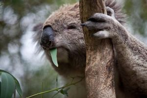 Phillip Island Koala Conservation Centre Entry ticket - Accommodation QLD