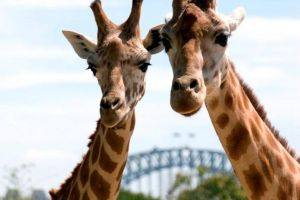 Sydney Harbour Ferry with Taronga Zoo Entry Ticket - Accommodation QLD